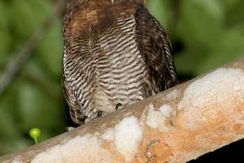 Brown Wood Owl (Jackie Lover)