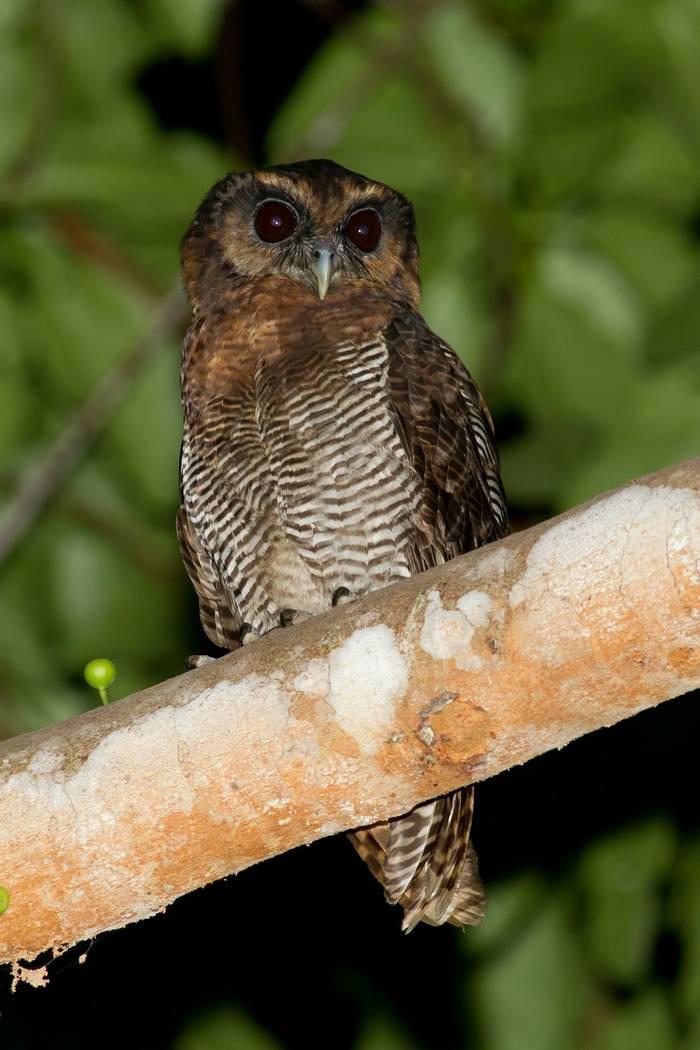 Brown Wood Owl (Jackie Lover)