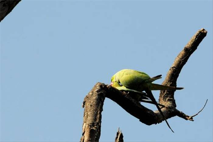 Alexandrine Parakeet (Peter Johnson)