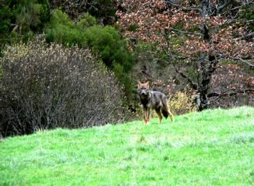 Wolf-watching in Spain