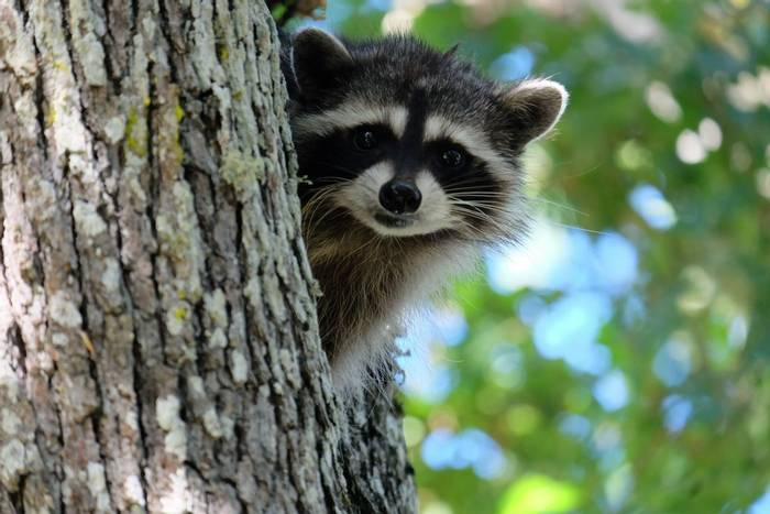 Raccoon, Fort Rodd Hill National Historic Site, Vancouver Island, Canada shutterstock_435218704.jpg