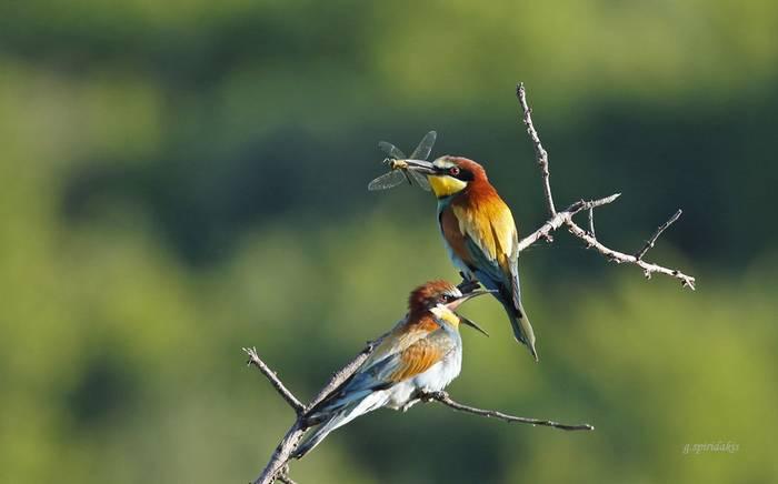 European Bee-eaters (Georgos Spiridakis)