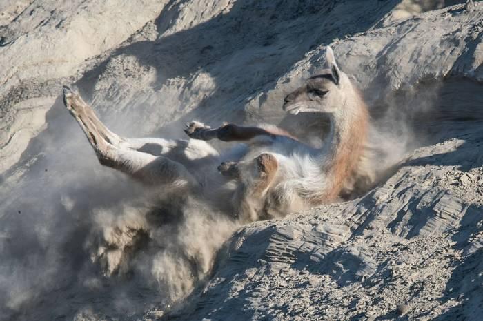 Dust-bathing Guanaco (Tim Melling)