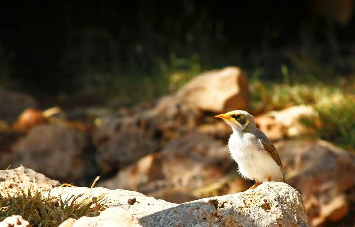 australian magpie juvenile