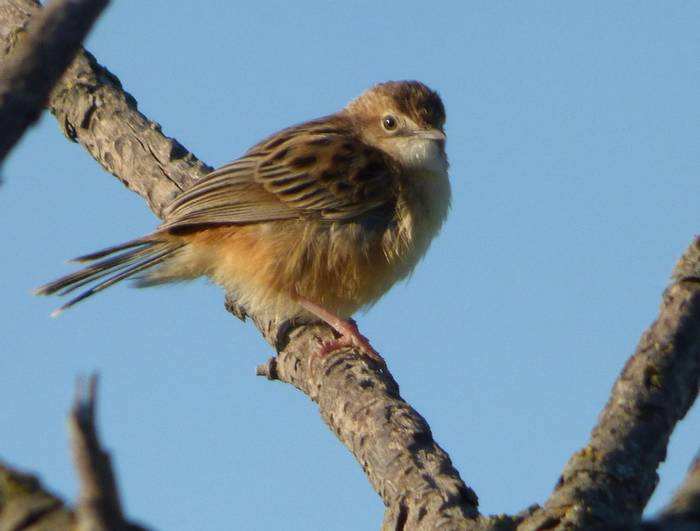 House Sparrow (Debbie Hart)