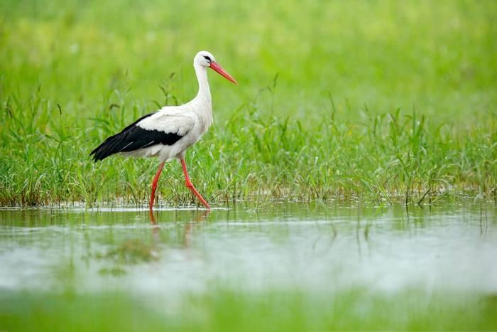 White Stork shutterstock_1116035114.jpg