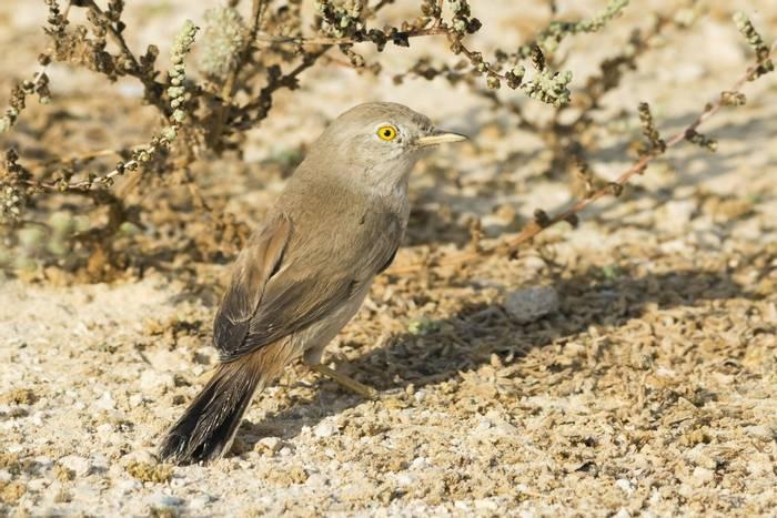 Asian Desert Warbler, Mongolia shutterstock_510887083.jpg