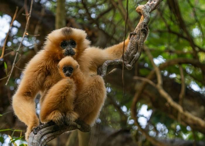 Yellow-cheeked Gibbon, Cat Tien, Vietnam shutterstock_1730977195.jpg