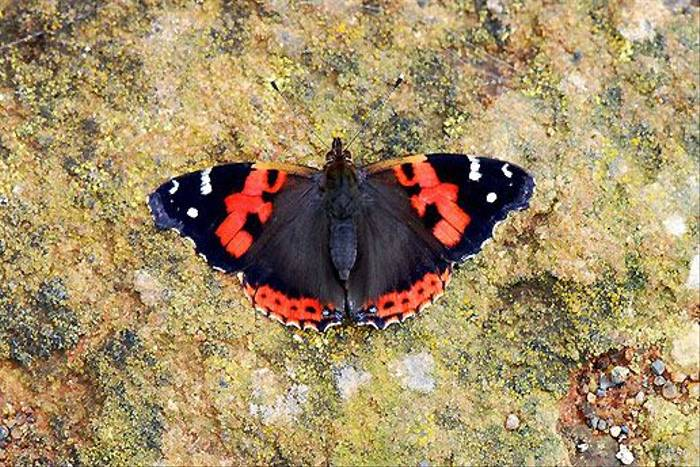 Canary Red Admiral, Tenerife (Ken Bailey)