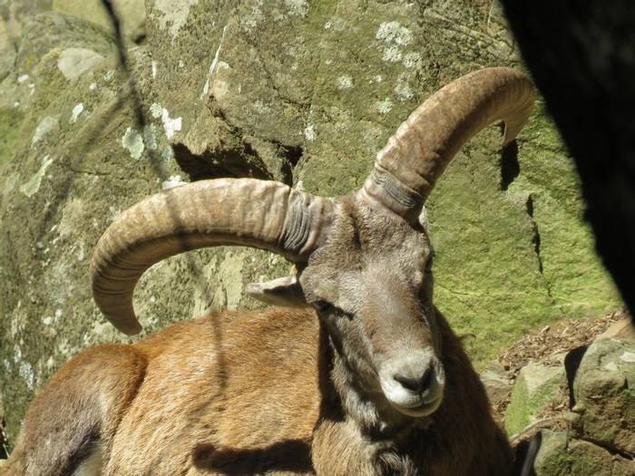 Mouflon in Trodos Mtns (Heather Osborne)