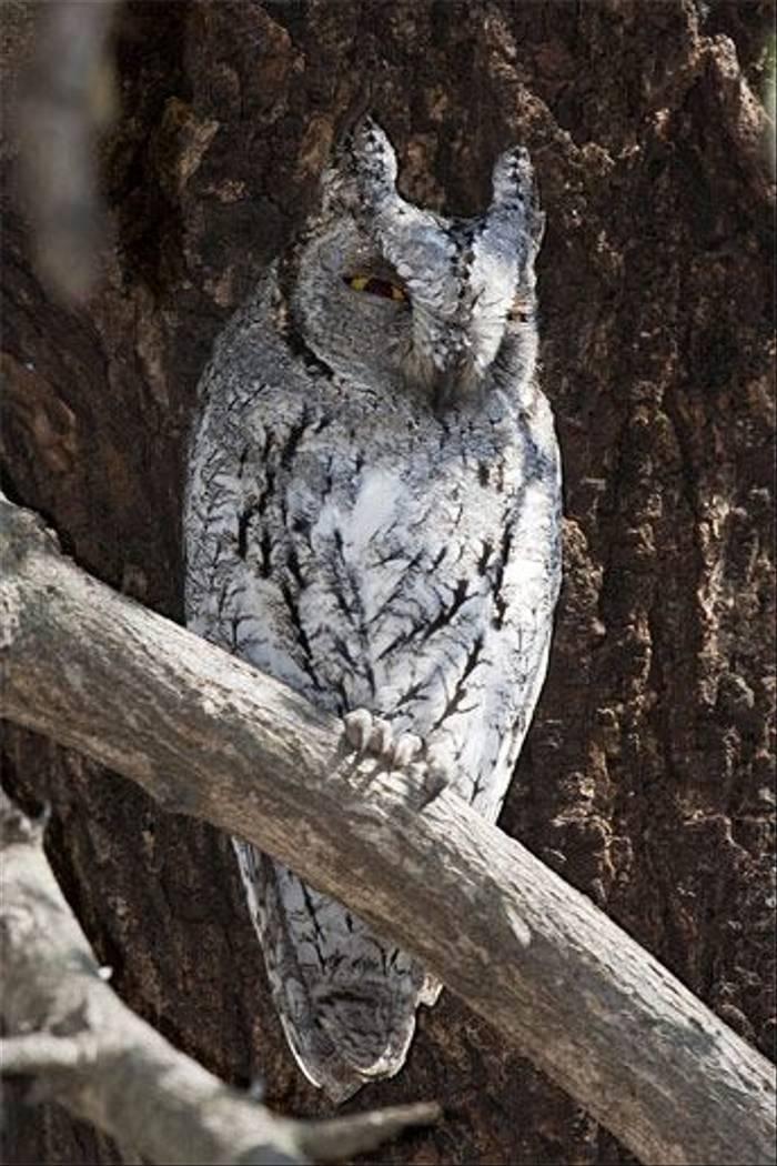African Scops-owl (Leon Marais)