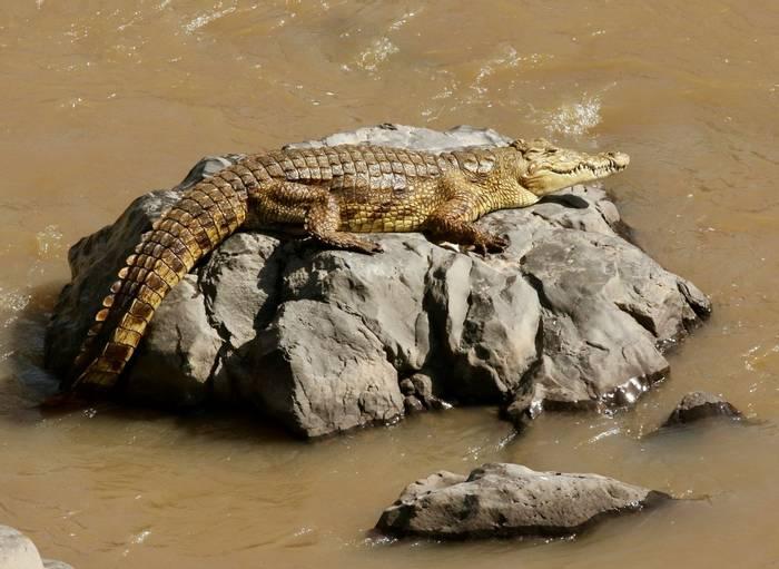 Nile Crocodile.jpeg