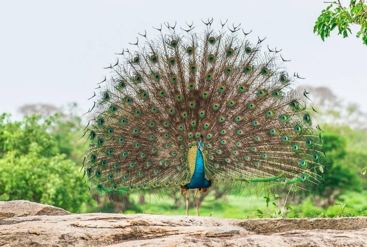 Peacock, Yala, Sri Lanka shutterstock_361465631.jpg