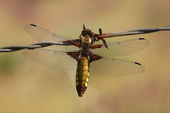 Broad-bodied Chaser (David Morris)