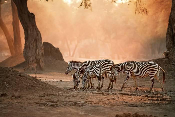 Zebra, Zambezi, Zimbabwe shutterstock_1728558829.jpg