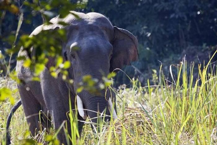Wild Indian Elephant (Cliff Garratt)