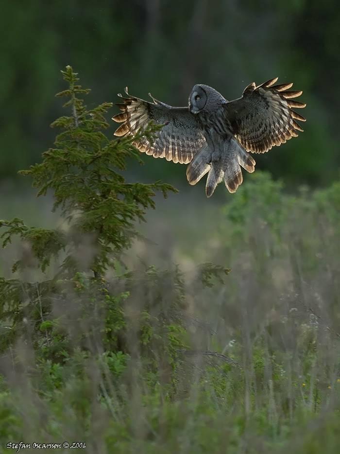 Great Grey Owl (Stefan Oscarsson)