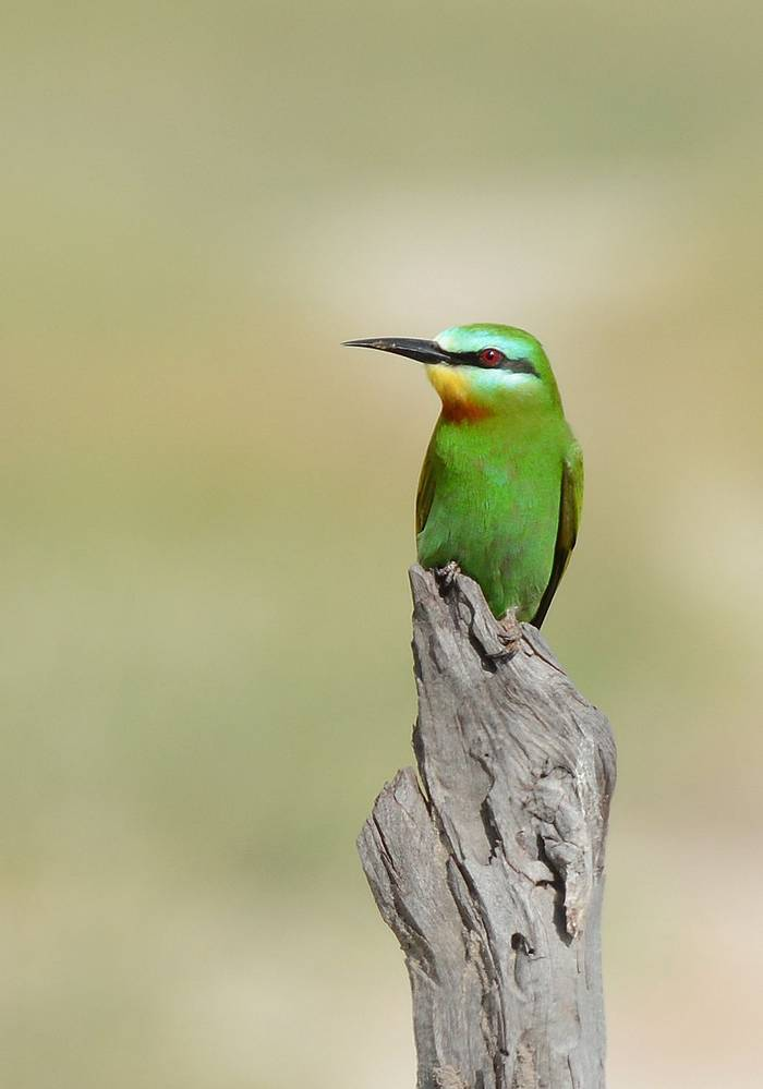 Blue-cheeked Bee-eater (Eric Browett)