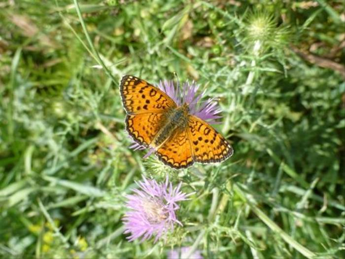 Aetherie Fritillary (Kerrie Porteous)