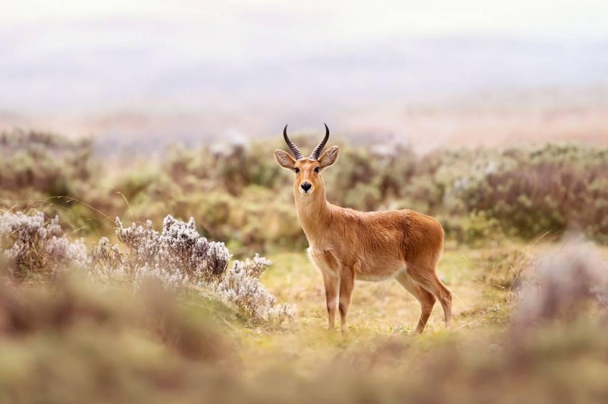 Bohor Reedbuck, Bale Mountains Shutterstock 1301549671