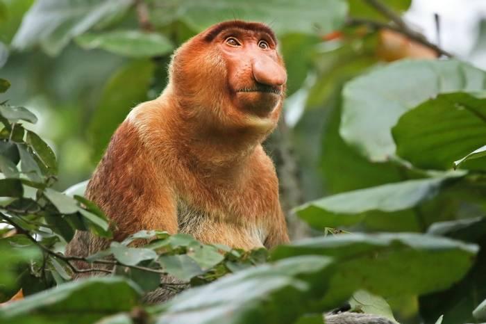 Borneo (Proboscis Monkey)