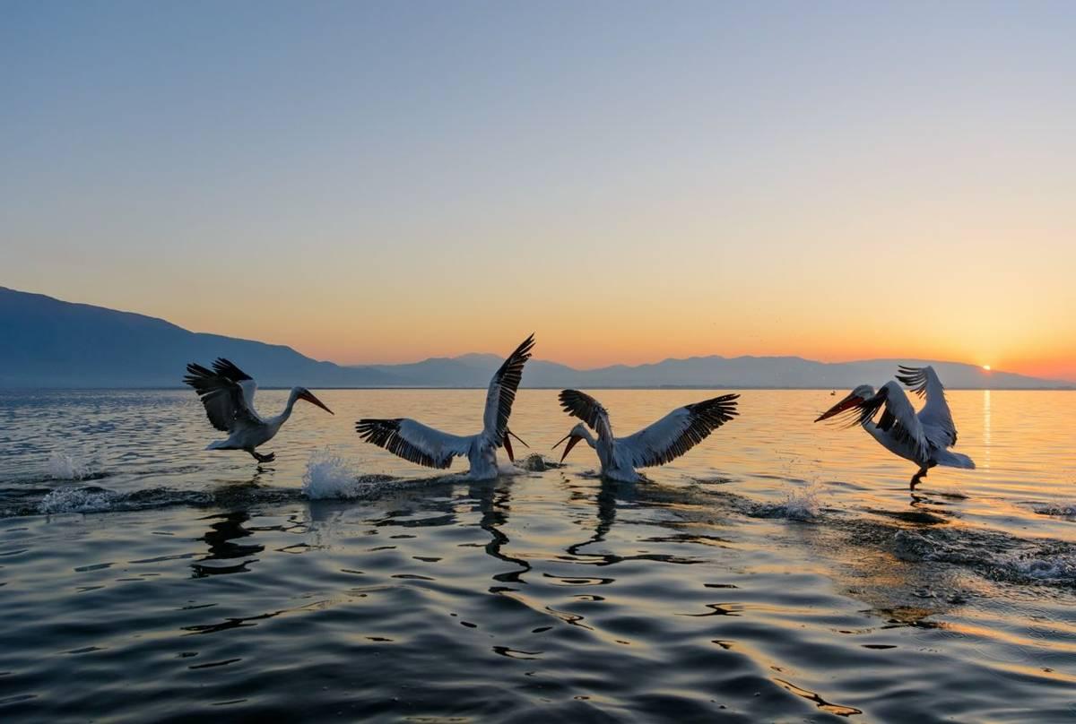 Dalmatian Pelicans, Lake Kerkini
