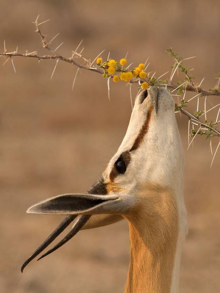 Springbok (Antidorcas Marupalis) Browsing, Etosha © R Harvey