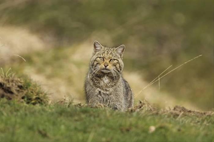 Wildcat, Navarra by Jose Ardaiz