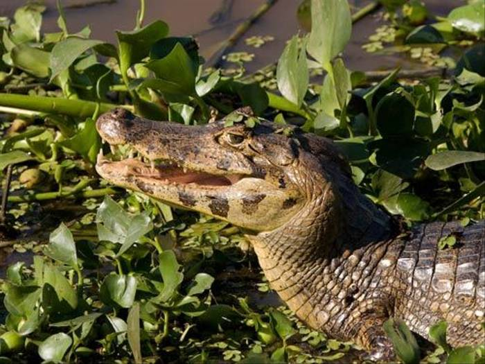 Spectacled Caiman (Mike Galtry)