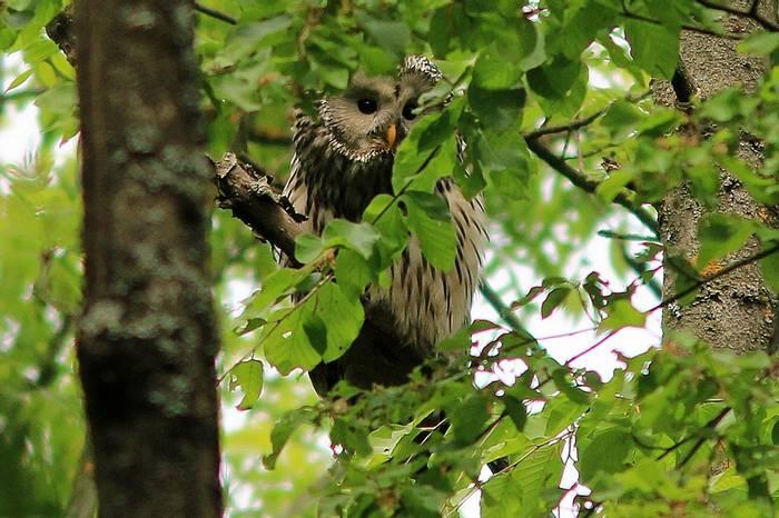 Ural Owl (R. Davidson)