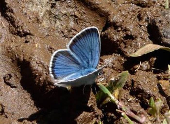 Greek Mazarine Blue (William Lintott)