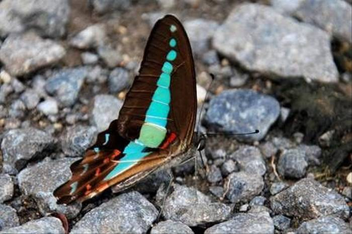 Common Bluebottle(David Taylor)