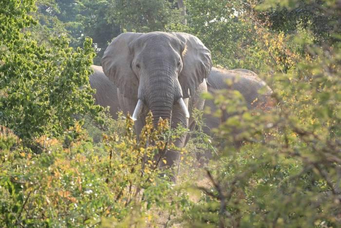 African Elephant, Uganda shutterstock_1401037577.jpg