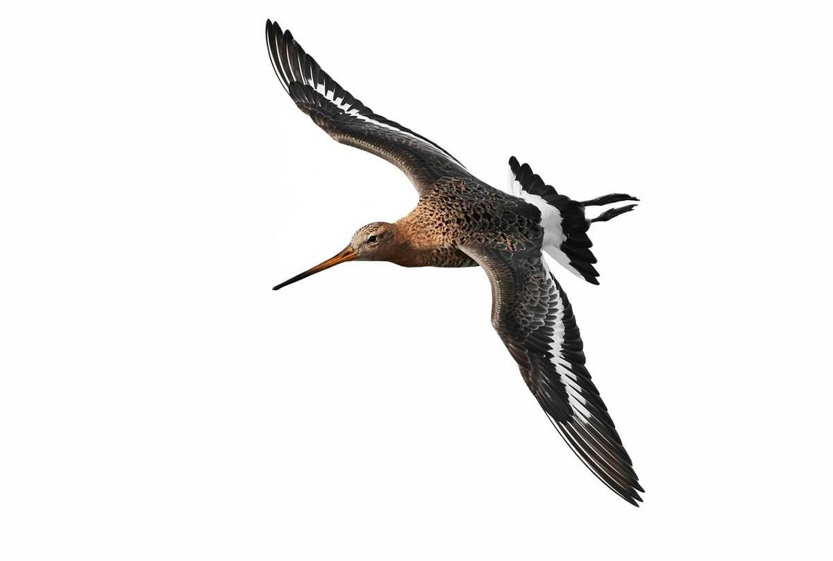 Black-tailed Godwit shutterstock_1068819701.jpg