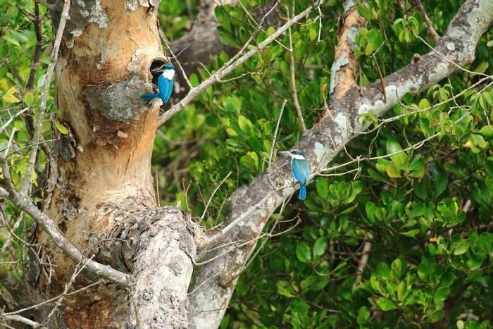 Collared Kingfishers (Sujan Chatterjee)