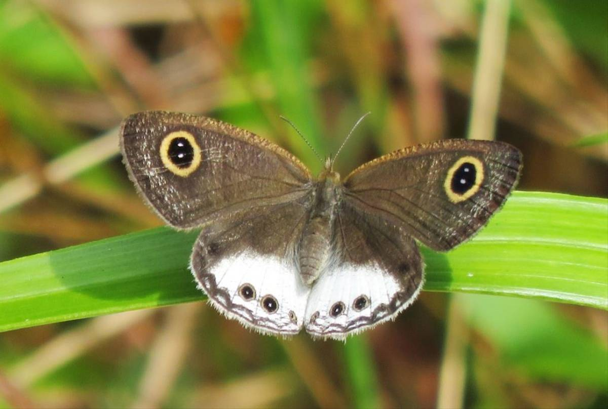 White Four-Ring Butterfly (David Hartill)