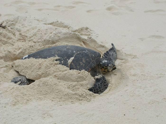 Hawksbill Sea Turtle (Andrew Lapworth).jpg