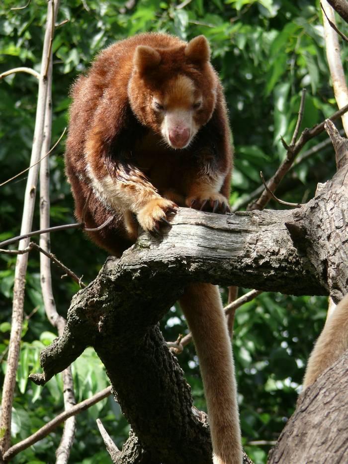 Tree Kangaroo, Australia (Susan Flashman)