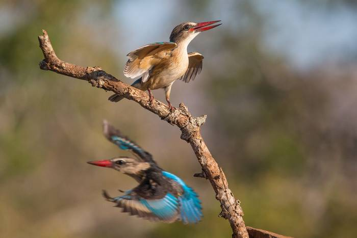 Grey Headed Kingfisher (Jonathan Lewis)