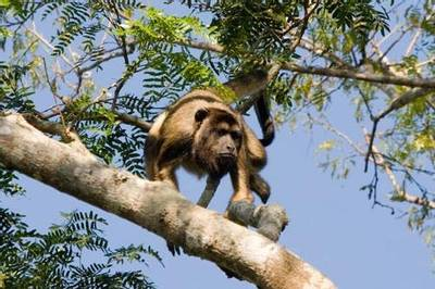 Black Howler Monkey by Mike Galtry