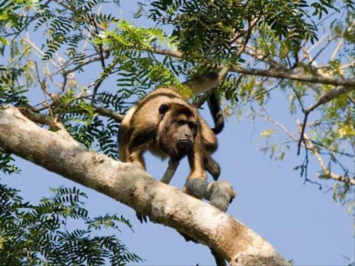 Back Howler Monkey by Mike Galtry