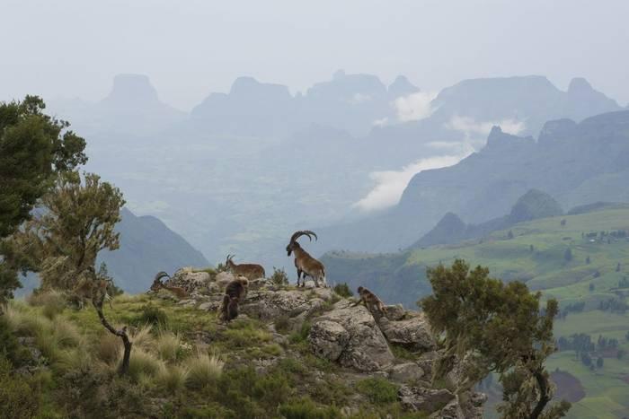 Ibex and Gelada Baboons Ethiopia shutterstock_98813378.jpg