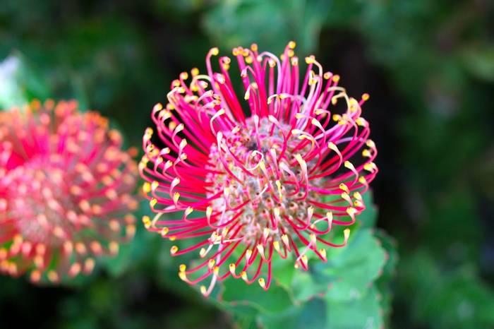 Hakea flower