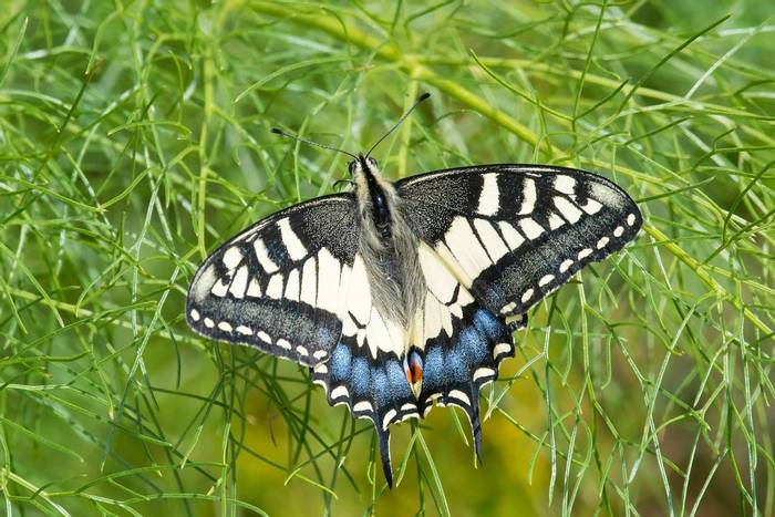 Swallowtail (Mike Vickers)