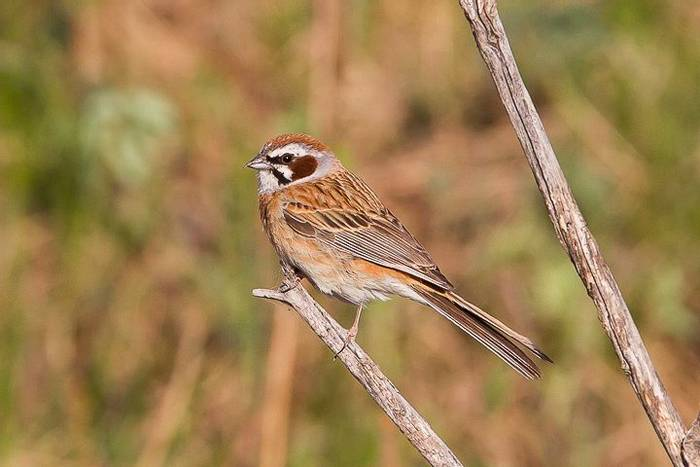 Siberian Meadow Bunting (Alan Curry)