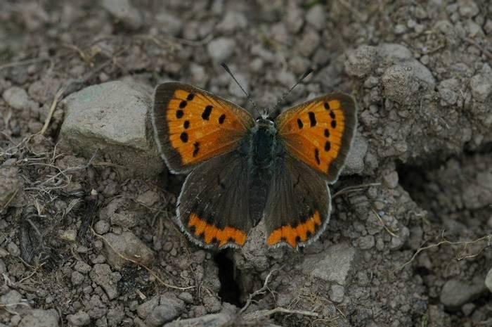 Small copper (Gerald Broddelez)