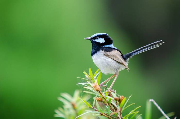 Blue Fairy-wren