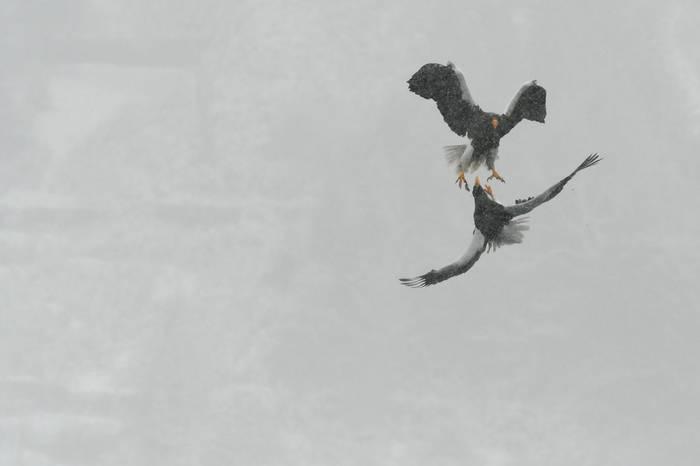 Steller's Sea Eagles