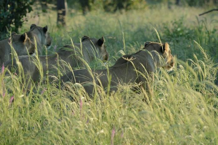 Lions hunting (Eric Browett)