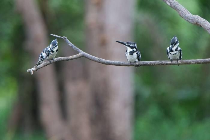 Pied Kingfishers, Abuko Forest Reserve, Gambia shutterstock_1682718208.jpg